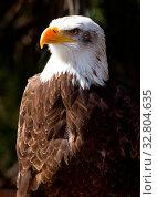 Bald Eagle Bird of prey close up. Стоковое фото, фотограф Zoonar.com/christopher smith / easy Fotostock / Фотобанк Лори