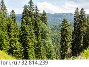 Купить «Caucasian mountains. Spruce forest on a background of mountains. Goderdzi Pass in Georgia», фото № 32814239, снято 13 июля 2019 г. (c) Евгений Ткачёв / Фотобанк Лори
