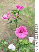 Купить «Лаватера (хатьма) цветет в саду. Красивый однолетний цветок», фото № 32819859, снято 27 августа 2019 г. (c) Наталья Осипова / Фотобанк Лори