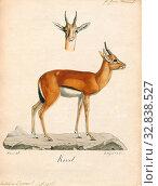 Antilope dorcas, Print, Blackbuck, The blackbuck (Antilope cervicapra), also known as the Indian antelope, is an antelope found in India, Nepal, and Pakistan... (2019 год). Редакционное фото, фотограф ARTOKOLORO QUINT LOX LIMITED / age Fotostock / Фотобанк Лори