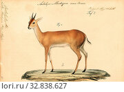 Antilope madoqua, Print, Blackbuck, The blackbuck (Antilope cervicapra), also known as the Indian antelope, is an antelope found in India, Nepal, and Pakistan... (2019 год). Редакционное фото, фотограф ARTOKOLORO QUINT LOX LIMITED / age Fotostock / Фотобанк Лори