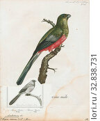 Купить «Apaloderma narina, Print, The Narina trogon (Apaloderma narina) is a largely green and red, medium-sized (32–34 cm long), bird of the family Trogonidae...», фото № 32838731, снято 17 сентября 2019 г. (c) age Fotostock / Фотобанк Лори