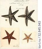 Asterias rubens, Print, The common starfish, common sea star or sugar starfish (Asterias rubens) is the most common and familiar starfish in the north... Редакционное фото, фотограф ARTOKOLORO QUINT LOX LIMITED / age Fotostock / Фотобанк Лори