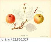 Sunday apple, Swiss apple variety, Signed: Color print by J. Tribelhorn, Fig. 41, Tribelhorn, J. (imp.), 1863, Schweizerisch. Landwirtschaftl. Verein ... Редакционное фото, фотограф ARTOKOLORO QUINT LOX LIMITED / age Fotostock / Фотобанк Лори