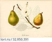 Saint Germain, Swiss pear variety, Signed: Farbendruck v., J. Tribelhorn, Fig. 10, Tribelhorn, J. (imp.), 1863, Schweizerisch. Landwirtschaftl. Verein... Редакционное фото, фотограф ARTOKOLORO QUINT LOX LIMITED / age Fotostock / Фотобанк Лори