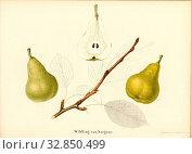 Wildling of Sargans, Swiss pear variety, Signed: Farbendruck v., J. Tribelhorn, Fig. 46, Tribelhorn, J. (imp.), 1863, Schweizerisch. Landwirtschaftl. Verein... Редакционное фото, фотограф ARTOKOLORO QUINT LOX LIMITED / age Fotostock / Фотобанк Лори