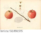 Sour gray, Swiss apple variety, Signed: Color print by J. Tribelhorn, Fig. 35, Tribelhorn, J. (imp.), 1863, Schweizerisch. Landwirtschaftl. Verein (Hg... Редакционное фото, фотограф ARTOKOLORO QUINT LOX LIMITED / age Fotostock / Фотобанк Лори