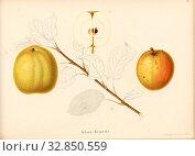 Gloss Reinette, Swiss apple variety, Signed: Color print by J. Tribelhorn, Fig. 17, Tribelhorn, J. (imp.), 1863, Schweizerisch. Landwirtschaftl. Verein... Редакционное фото, фотограф ARTOKOLORO QUINT LOX LIMITED / age Fotostock / Фотобанк Лори