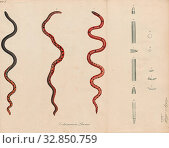 Calamaria linnaei, Print, Linne's Dwarf Snake, 1700-1880. Редакционное фото, фотограф ARTOKOLORO QUINT LOX LIMITED / age Fotostock / Фотобанк Лори