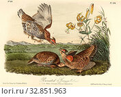 Pinnated Grouse - Lilly 's pride, Heath-hen (Tympanuchus cupido cupido, Tetrao cupido), Lily, Signed: J.J. Audubon, J.T. Bowen, lithograph, Pl. 296 (Vol... Редакционное фото, фотограф ARTOKOLORO QUINT LOX LIMITED / age Fotostock / Фотобанк Лори
