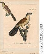 Купить «Centropus senegalensis, Print, The Senegal coucal (Centropus senegalensis) is a member of the cuckoo order of birds, the Cuculiformes, which also includes...», фото № 32855883, снято 2 июля 2020 г. (c) age Fotostock / Фотобанк Лори