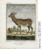 Cervus elaphus, Print, The red deer (Cervus elaphus) is one of the largest deer species. The red deer inhabits most of Europe, the Caucasus Mountains region... Редакционное фото, фотограф ARTOKOLORO QUINT LOX LIMITED / age Fotostock / Фотобанк Лори