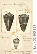 Купить «Conus daucus, Print, Conus daucus, common name the carrot cone, is a species of sea snail, a marine gastropod mollusk in the family Conidae, the cone snails and their allies.», фото № 32863851, снято 17 сентября 2019 г. (c) age Fotostock / Фотобанк Лори