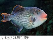 Купить «Желтомордый псевдобалист (Pseudobalistes flavimarginatus), морская рыба», фото № 32884199, снято 15 декабря 2019 г. (c) Татьяна Белова / Фотобанк Лори