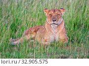 Beautiful lioness resting at the masai mara national park kenya. Стоковое фото, фотограф Zoonar.com/matthieu gallet / easy Fotostock / Фотобанк Лори