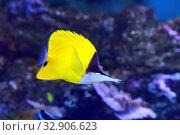 Бабочка желтый пинцет (Forcipiger flavissimus), морская рыбка. Стоковое фото, фотограф Татьяна Белова / Фотобанк Лори