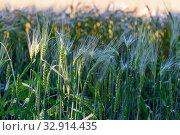 Купить «horizontal photo of growing ears of juicy wheat in a field», фото № 32914435, снято 2 июня 2018 г. (c) Константин Лабунский / Фотобанк Лори