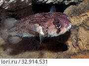 Купить «Иглобрюх или рыба фугу (Tetraodontidae)», фото № 32914531, снято 10 декабря 2019 г. (c) Татьяна Белова / Фотобанк Лори