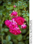 Купить «Branch of climbing roses», фото № 32919215, снято 12 июля 2018 г. (c) Юлия Бабкина / Фотобанк Лори