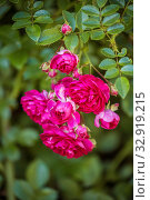 Branch of climbing roses. Стоковое фото, фотограф Юлия Бабкина / Фотобанк Лори