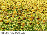 A large field of ripe sunflowers on a September sunny day. Стоковое фото, фотограф Акиньшин Владимир / Фотобанк Лори