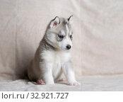 Купить «Husky puppies, two months old», фото № 32921727, снято 13 июля 2019 г. (c) Типляшина Евгения / Фотобанк Лори