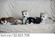 Купить «Husky puppies, two months old», фото № 32921735, снято 13 июля 2019 г. (c) Типляшина Евгения / Фотобанк Лори