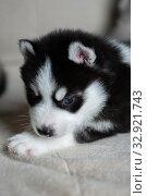 Купить «Husky puppies, two months old», фото № 32921743, снято 13 июля 2019 г. (c) Типляшина Евгения / Фотобанк Лори