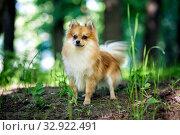 Купить «Cute Pomeranian dog», фото № 32922491, снято 19 мая 2019 г. (c) Сергей Лаврентьев / Фотобанк Лори