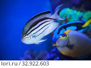 Ангел лирохвостый Ламарка (Genicanthus lamarck ) или ангел веснушчатый. Морская рыба. Стоковое фото, фотограф Татьяна Белова / Фотобанк Лори