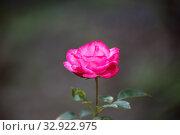 Купить «Роза сорта Bella Rosa», фото № 32922975, снято 12 июля 2018 г. (c) Юлия Бабкина / Фотобанк Лори
