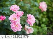 Pink Rose Sommerwind. Стоковое фото, фотограф Юлия Бабкина / Фотобанк Лори