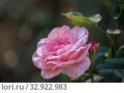 Купить «Розовая роза сорта Carina», фото № 32922983, снято 12 июля 2018 г. (c) Юлия Бабкина / Фотобанк Лори