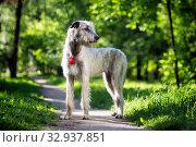Купить «Irish Wolfhound portrait», фото № 32937851, снято 19 мая 2019 г. (c) Сергей Лаврентьев / Фотобанк Лори