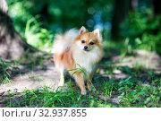 Купить «Cute Pomeranian dog», фото № 32937855, снято 19 мая 2019 г. (c) Сергей Лаврентьев / Фотобанк Лори