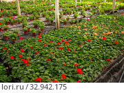 Pelargonium flowers growing at glasshouse. Стоковое фото, фотограф Яков Филимонов / Фотобанк Лори