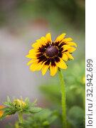 Купить «Rudbeckia flower», фото № 32942699, снято 12 июля 2018 г. (c) Юлия Бабкина / Фотобанк Лори
