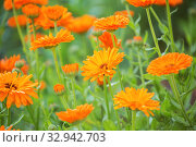 Купить «Bright orange calendula flowers (Calendula officinalis, pot marigold, ruddles). Natural floral background», фото № 32942703, снято 12 июля 2018 г. (c) Юлия Бабкина / Фотобанк Лори