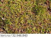 Купить «Еловая хвоя на мхе сфагнуме, фон», фото № 32946843, снято 11 апреля 2019 г. (c) Елена Коромыслова / Фотобанк Лори