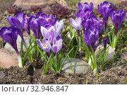 Цветущие сиреневые крокусы (лат. Crocus) в саду. Стоковое фото, фотограф Елена Коромыслова / Фотобанк Лори