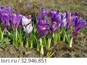 Фиолетовые и сиреневые крокусы (лат. Crocus) цветут в весеннем саду. Стоковое фото, фотограф Елена Коромыслова / Фотобанк Лори