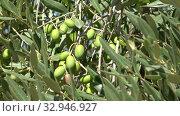 Купить «Поспевающие оливки крупным планом солнечным днем», видеоролик № 32946927, снято 22 сентября 2017 г. (c) Виктор Карасев / Фотобанк Лори
