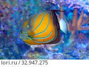 Рыба Ангел кольчатый анулярис  (Pomacanthus annularis) Стоковое фото, фотограф Татьяна Белова / Фотобанк Лори