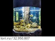 Купить «Round large aquarium with tropical fish on black background», фото № 32950807, снято 24 декабря 2019 г. (c) Евгений Ткачёв / Фотобанк Лори