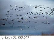 Купить «Flight of migrating cranes in cloud sky», фото № 32953647, снято 29 февраля 2020 г. (c) Яков Филимонов / Фотобанк Лори