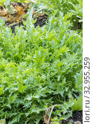 Chicory / Chicorée frisée 'Fine de louviers'. Стоковое фото, фотограф Alain Kubacsi / age Fotostock / Фотобанк Лори