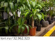 Houseplant Yucca elephantides on the shelf in a flower shop. Стоковое фото, фотограф Яков Филимонов / Фотобанк Лори