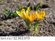 Желтые крокусы (лат. Crocus) цветут в весеннем саду. Стоковое фото, фотограф Елена Коромыслова / Фотобанк Лори