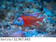 Купить «Копадихромис каданго (Kadango Red Fin, Haplochromis borleyi redfin, Haplochromis goldfin)», фото № 32967843, снято 1 января 2020 г. (c) Татьяна Белова / Фотобанк Лори