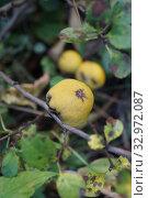 Купить «Айва японская (Chaenoméles japónica). Плоды на ветке.», фото № 32972087, снято 3 октября 2019 г. (c) М Б / Фотобанк Лори